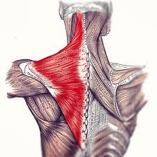 Trapezius Muscles